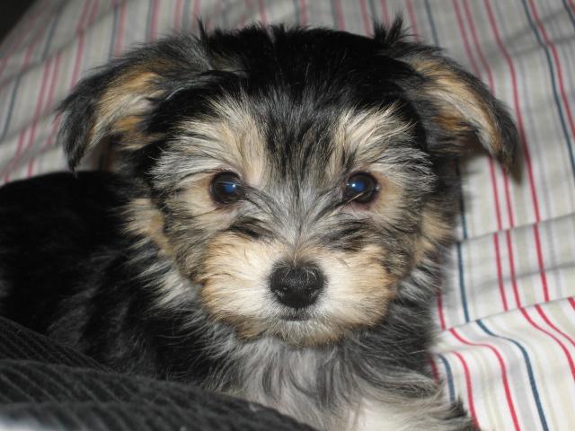 Yorkipoo Dog For Sale
