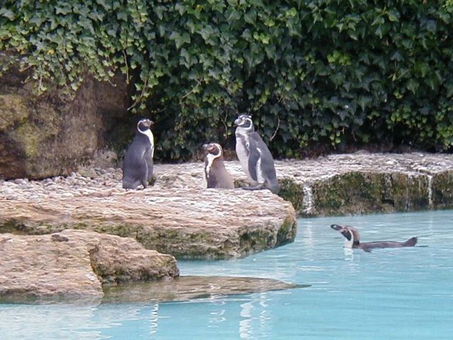 Penguins at Chessington World of Adventures - geograph.org.uk - 70354