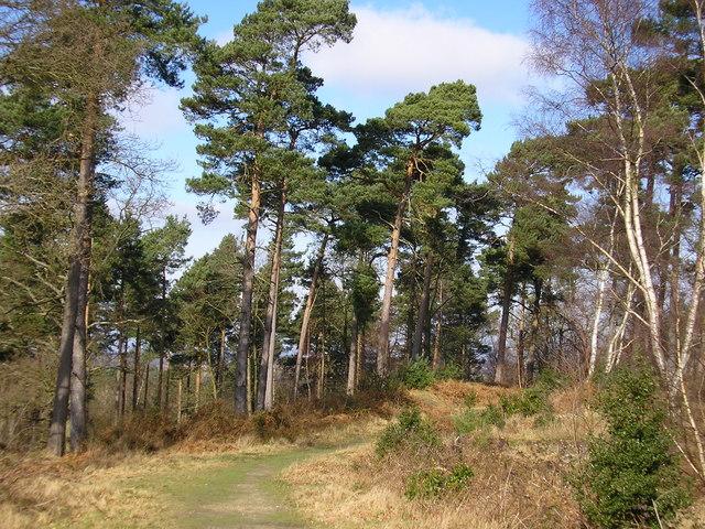 Pine trees, Caesar's Camp - geograph.org.uk - 1181921