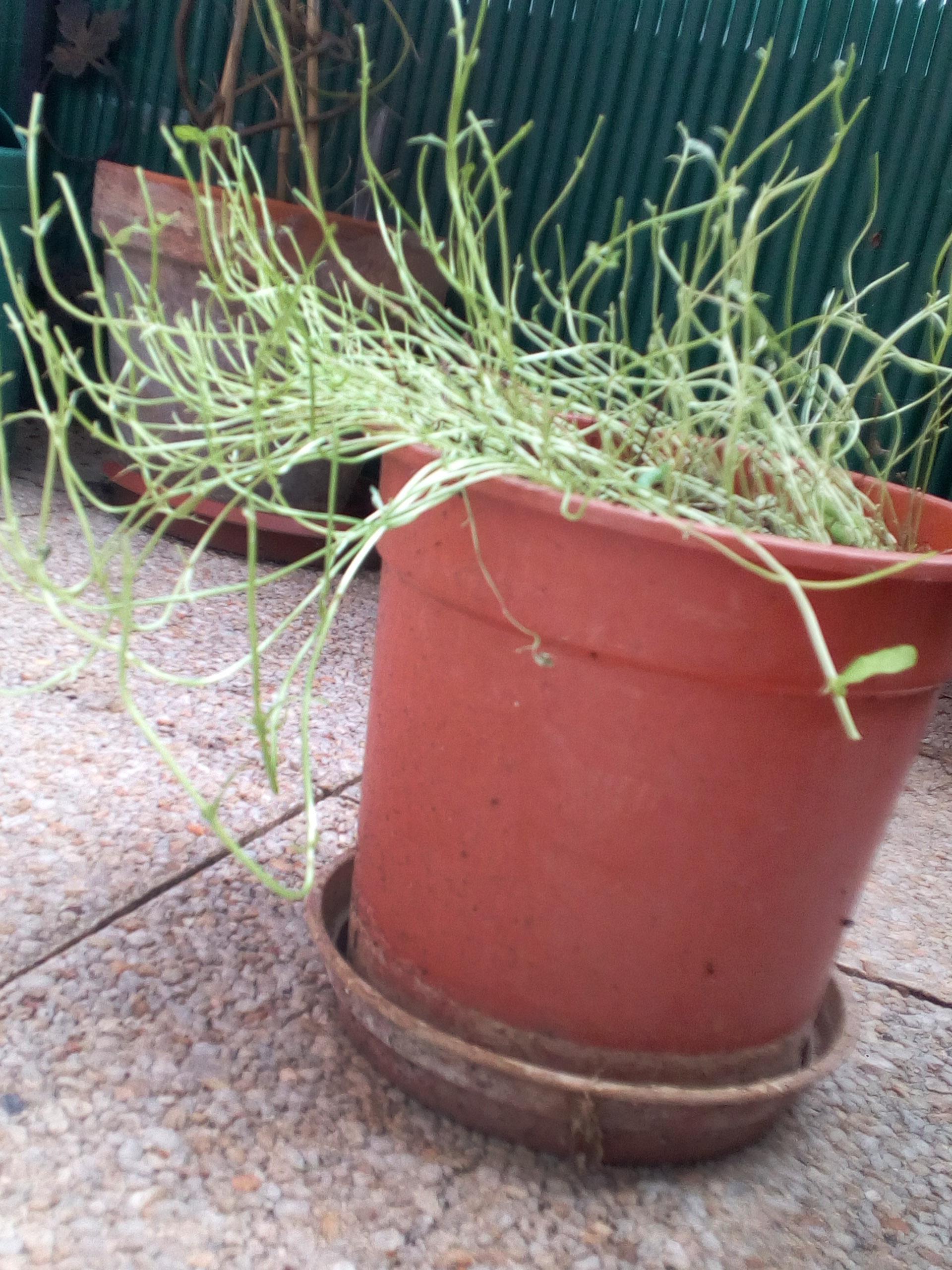 Plant De Menthe En Pot file:pot de menthe mangé par la plusie de la menthe