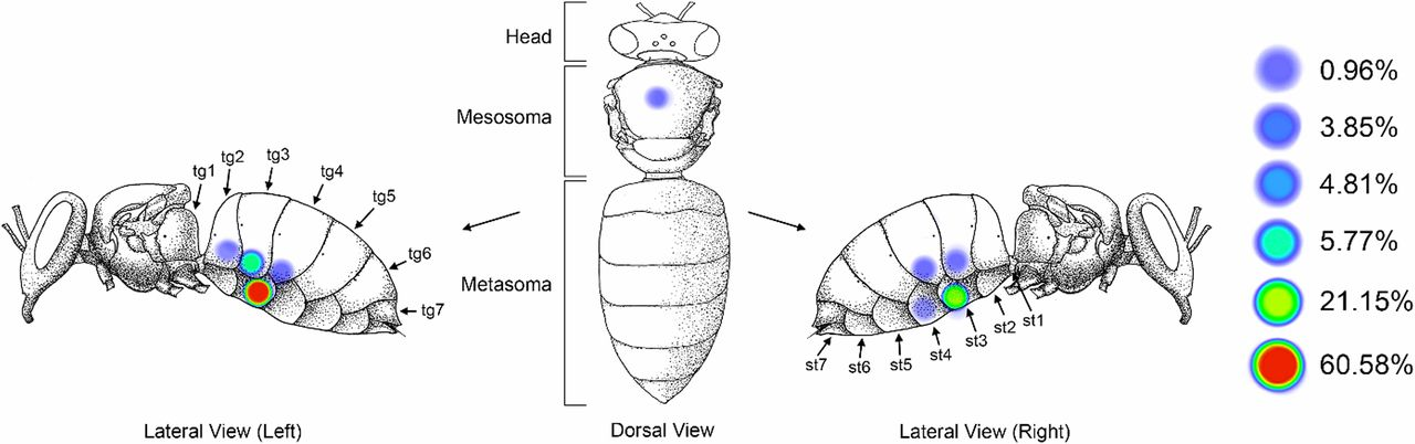 d32bc7cef Preferred feeding location of Varroa destructor mites on adult host bees.  Figure 1 from Varroa destructor feeds primarily on honey bee fat body  tissue and ...