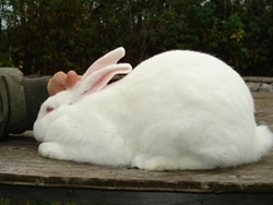 American Rabbit Wikipedia