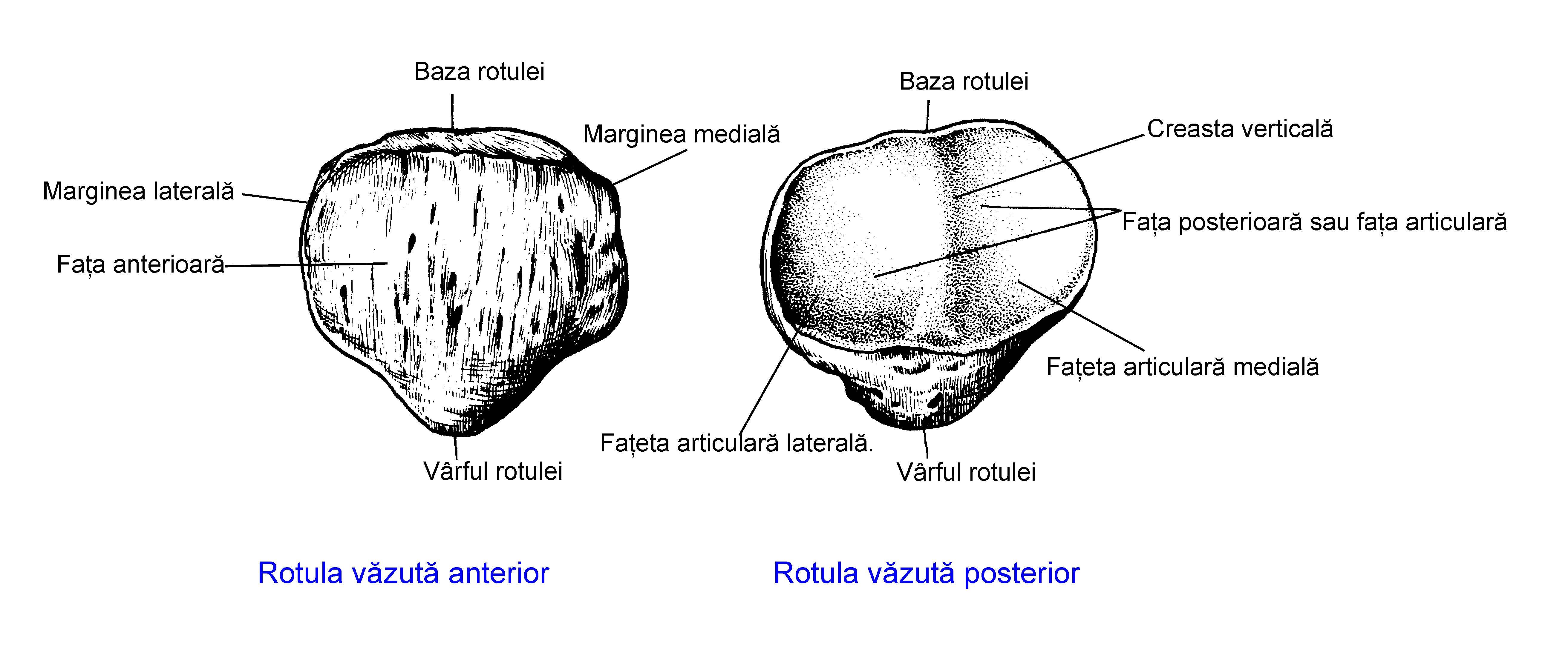 File:Rotula ro.jpg - Wikimedia Commons