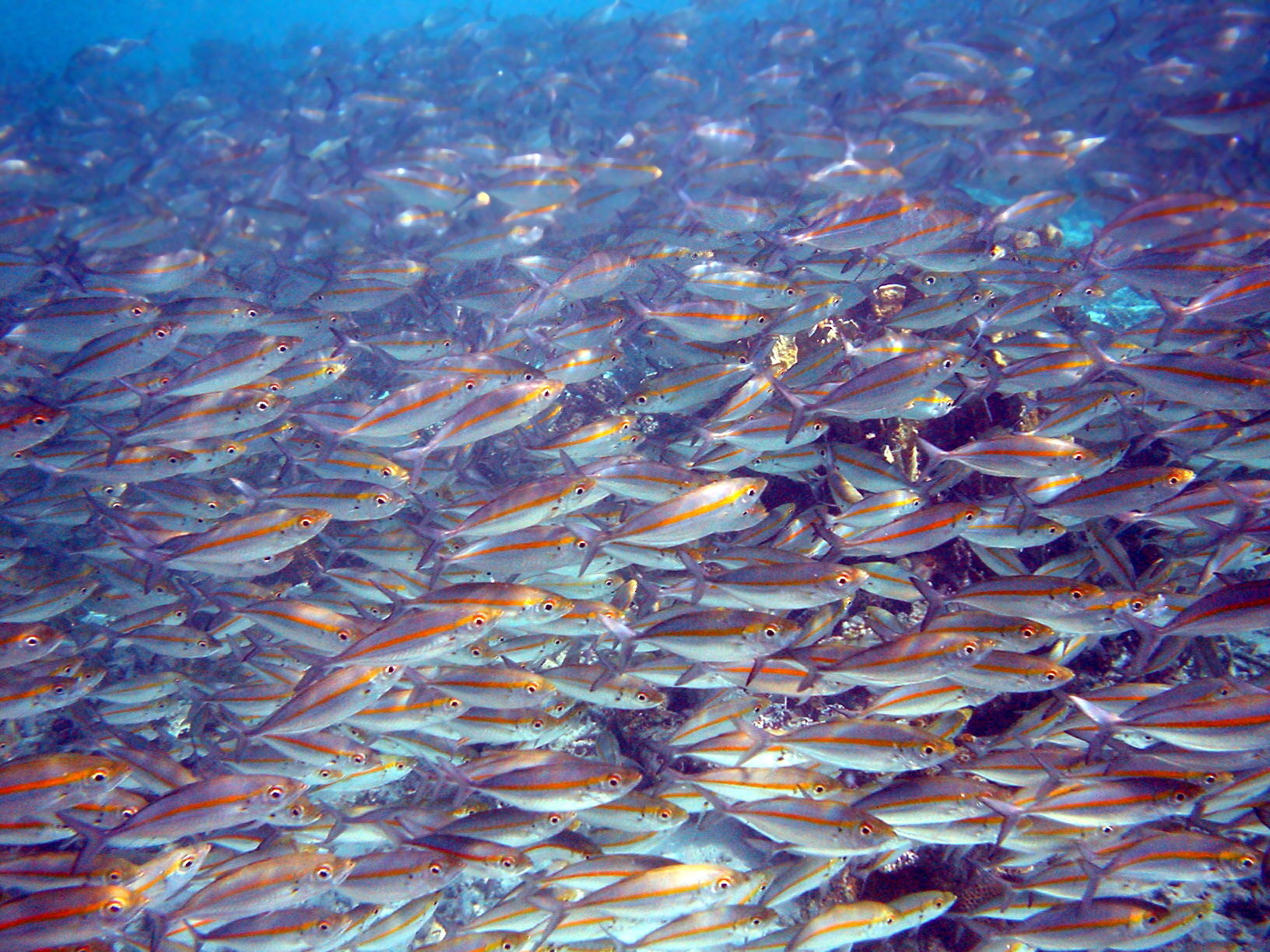 Photo of thousands of fish separated from each other by distances of 2 inches (51 mm) or less