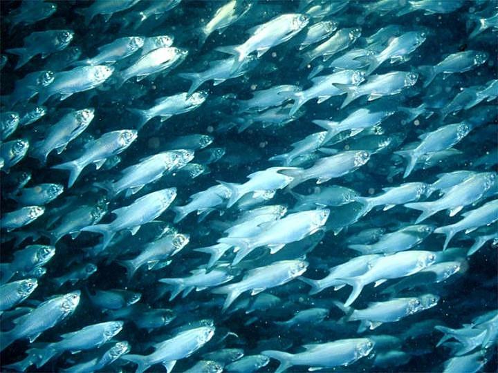 Coastal fish wikipedia for School of fish
