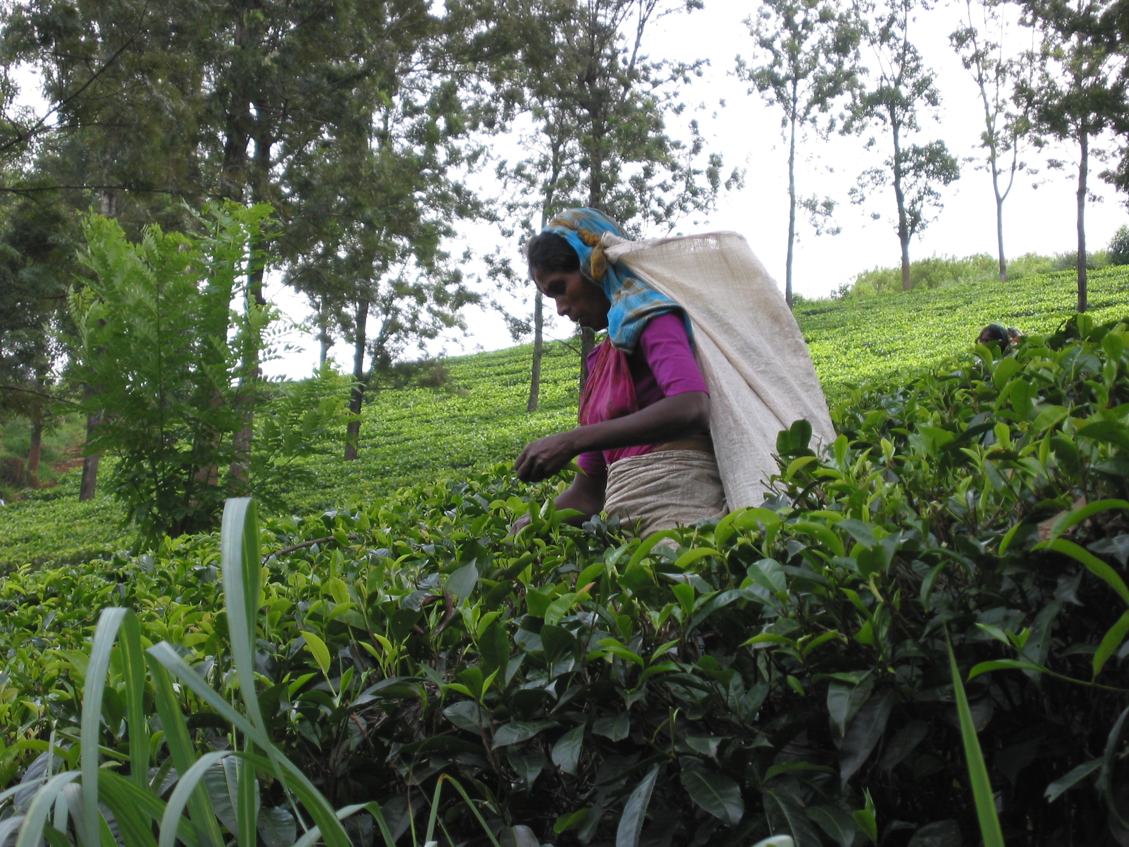 Sri Lanka Tea Prices a Tea Picker in Sri Lanka