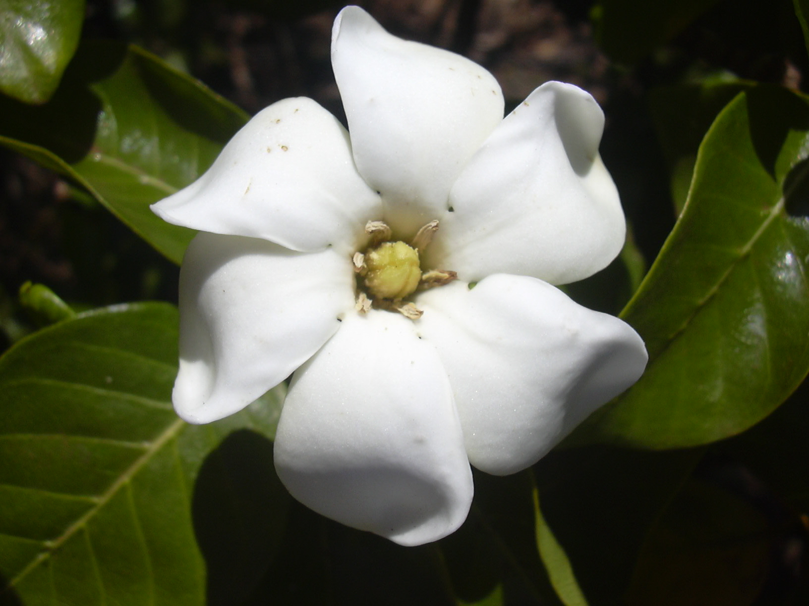 The 5 most fragrant flowers for your kauai commercial property image credits plumeria gardenia mightylinksfo Images