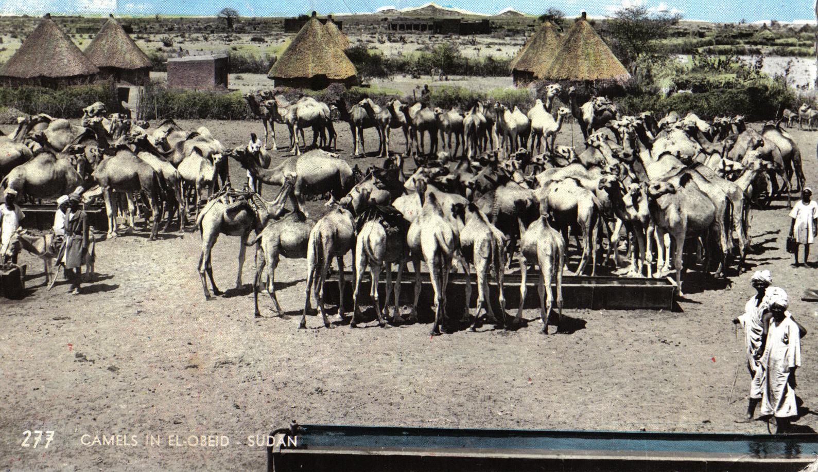 Camels in El-Obeid (early 1960s)