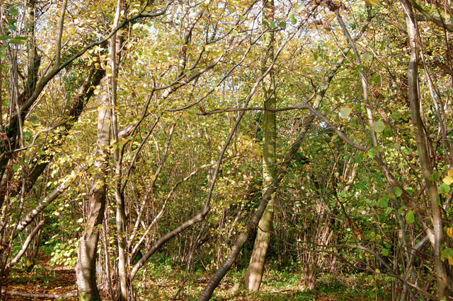 Sunlight and shade in Ufton Wood - geograph.org.uk - 1556445