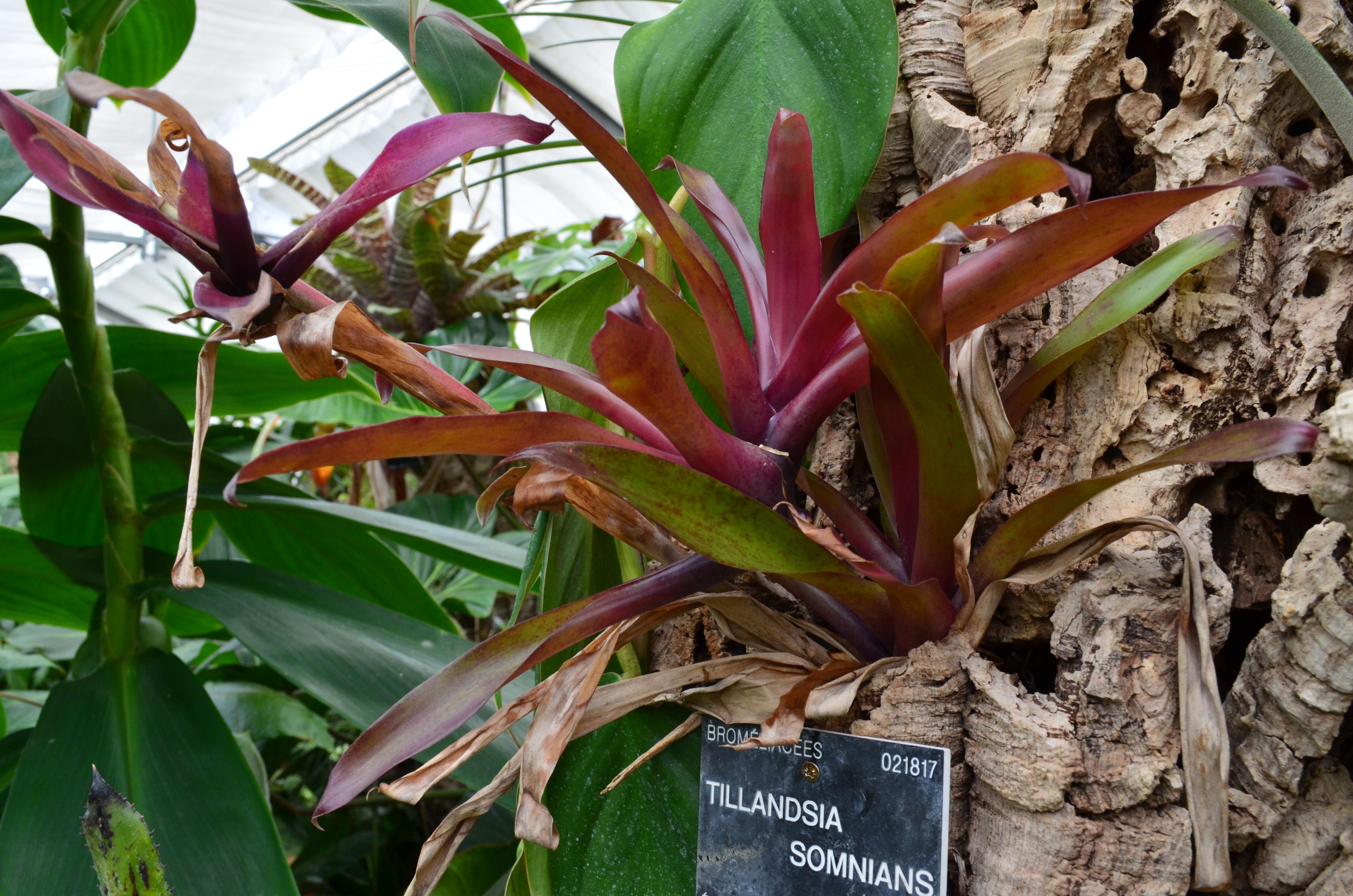 File tillandsia somnians jardin botanique du parc de la for Atelier du jardin d acclimatation