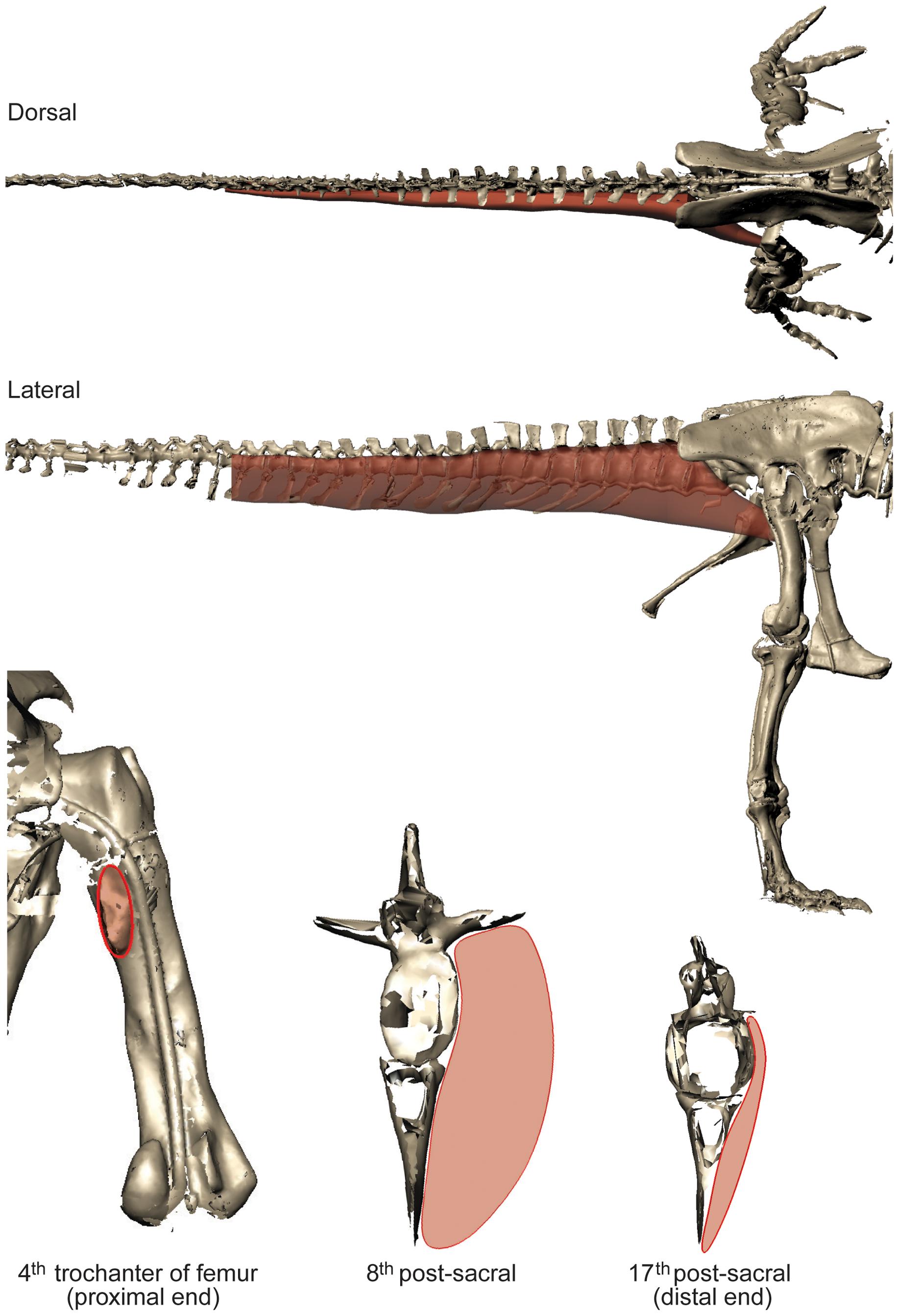 tyrannosaurus muscle mass.png