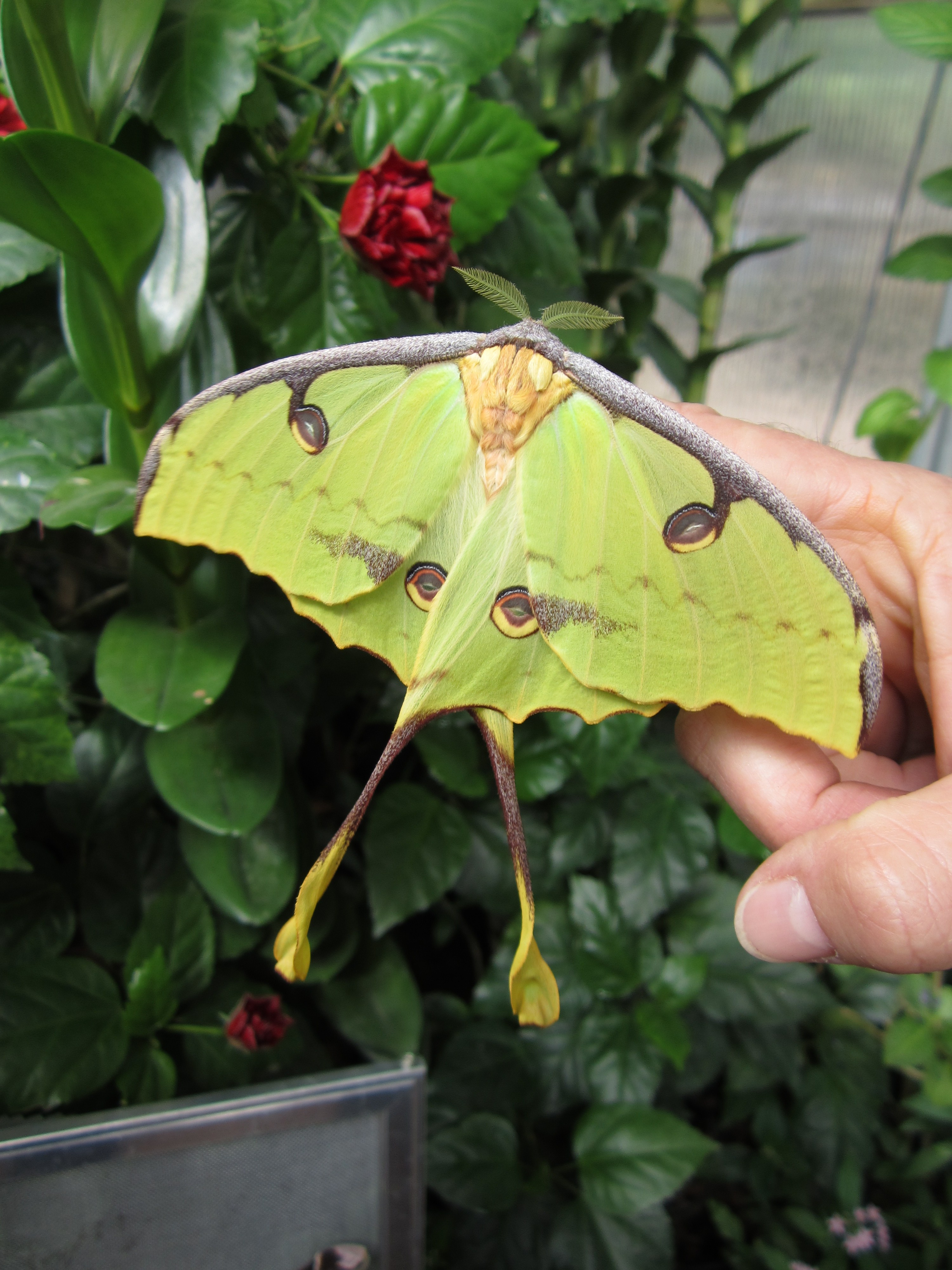File:African Moon Moth.jpg - Wikimedia Commons