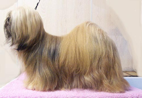 Apso Small Long Haired Dog