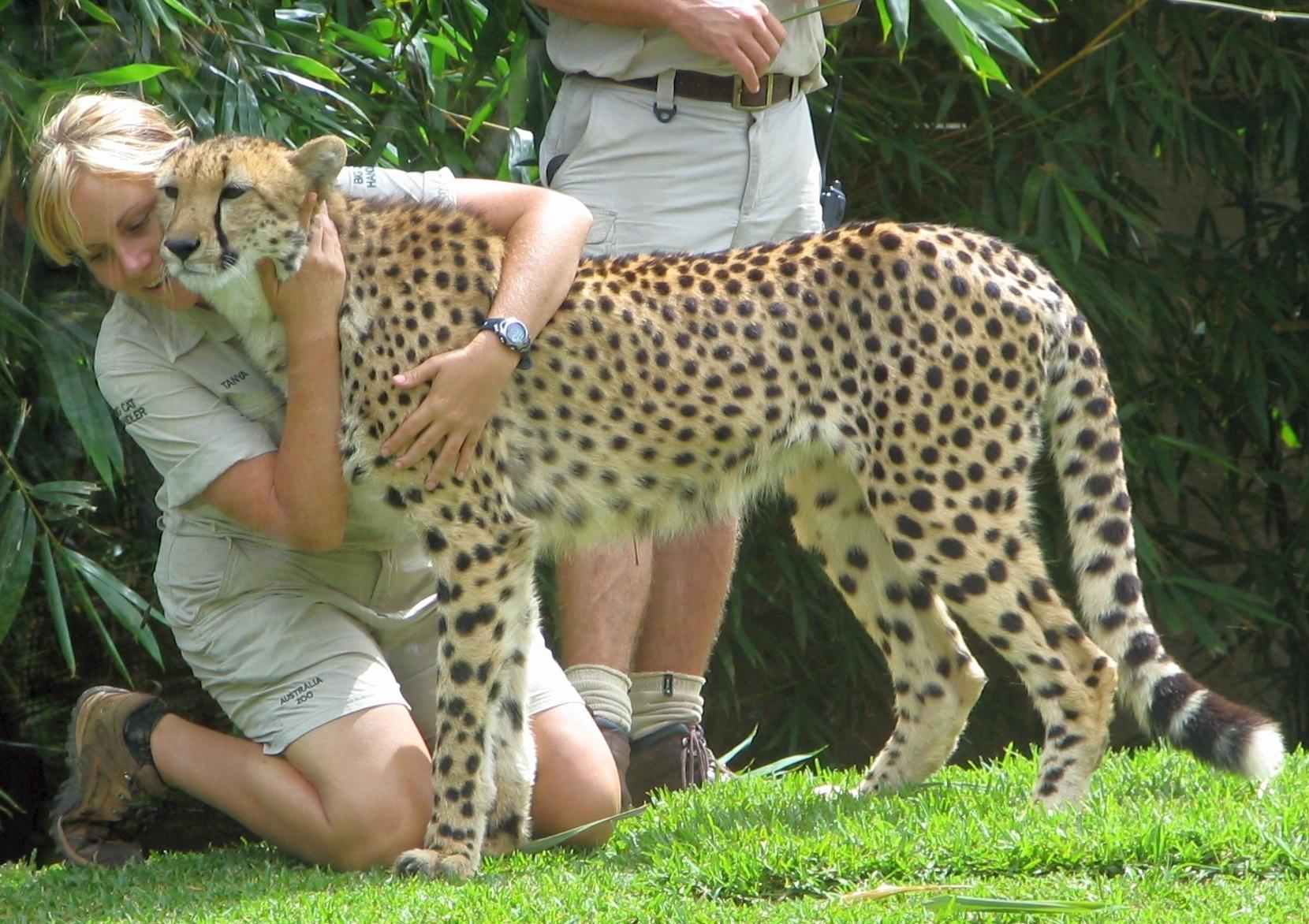 File:Australia Zoo cheetah and zookeepers.jpg - Wikipedia