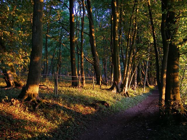 Beech woodland at sunset, Cheesefoot Head - geograph.org.uk - 209849