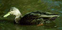 Description de l'image  Image:Blackduck2.PNG .