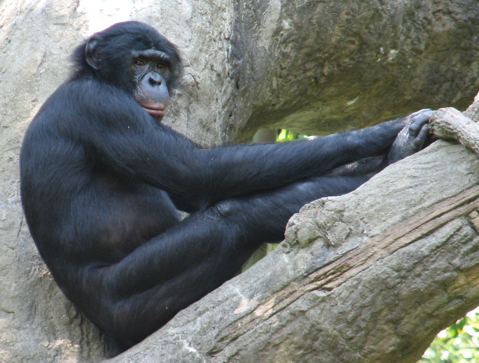 https://upload.wikimedia.org/wikipedia/commons/8/87/Bonobo_cincyzoo.jpg