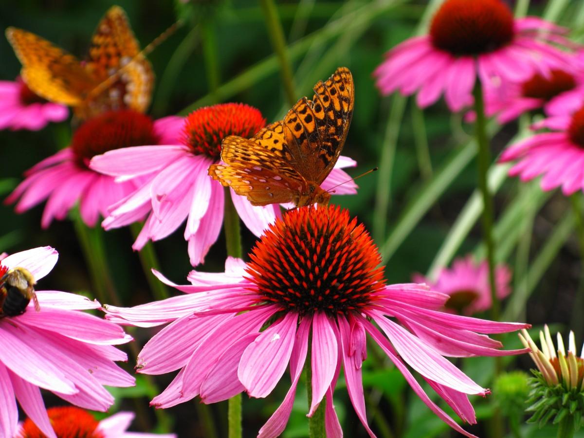 File Butterfly Purple Cone Flowers ForestWander