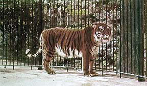 Colour-enhanced photo of the captive tiger in Berlin Zoo, 1899 Caspian tiger.JPG