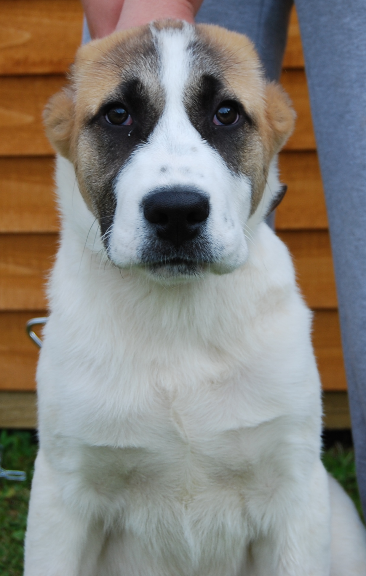 file central asian shepherd female puppy 3 months old