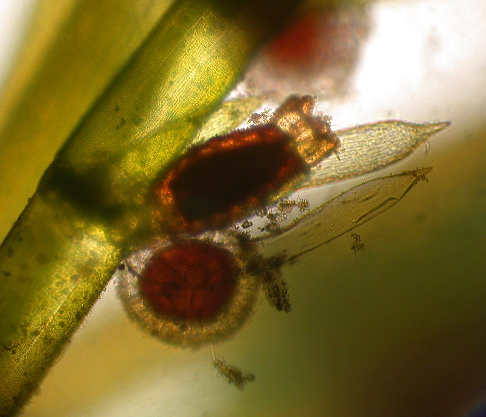 Green Algae- Chlorophyta