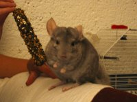 Chinchilla thumb.jpg