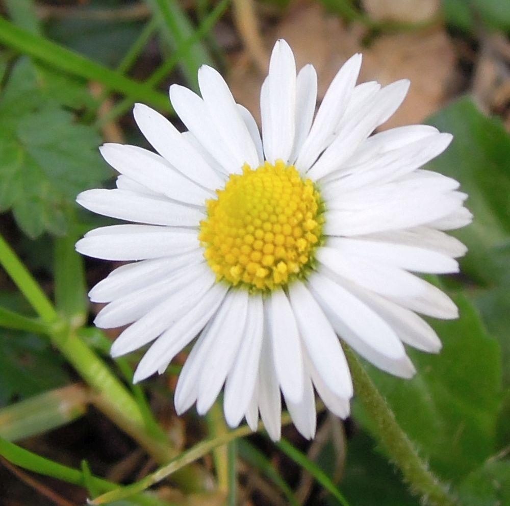 Filedaisy flower close upg wikimedia commons filedaisy flower close upg izmirmasajfo