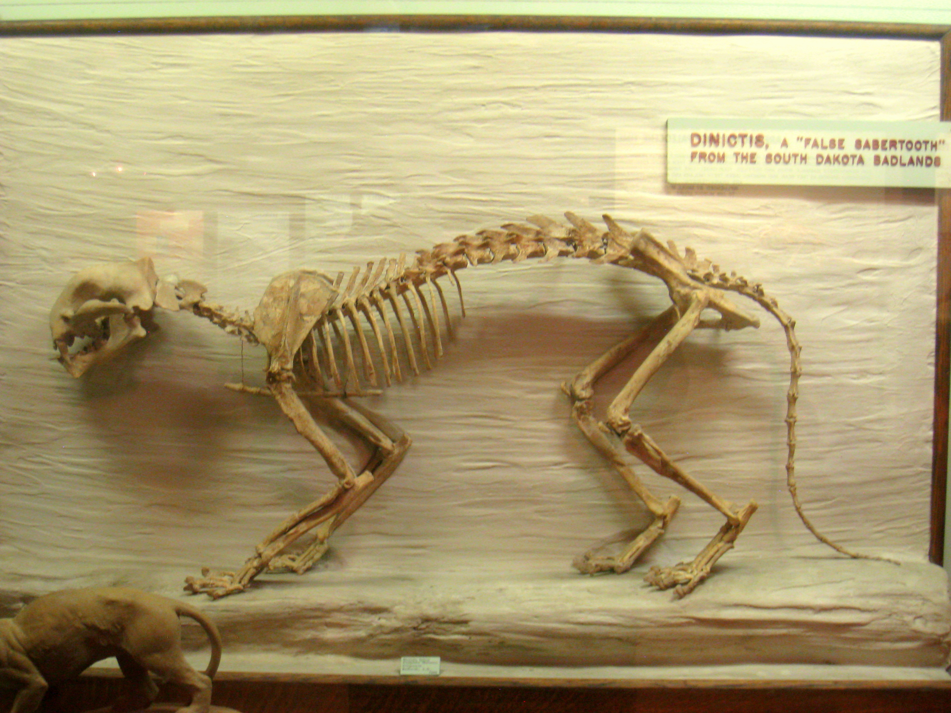 https://upload.wikimedia.org/wikipedia/commons/8/87/Dinictis_Exhibit_Museum_of_Natural_History.JPG