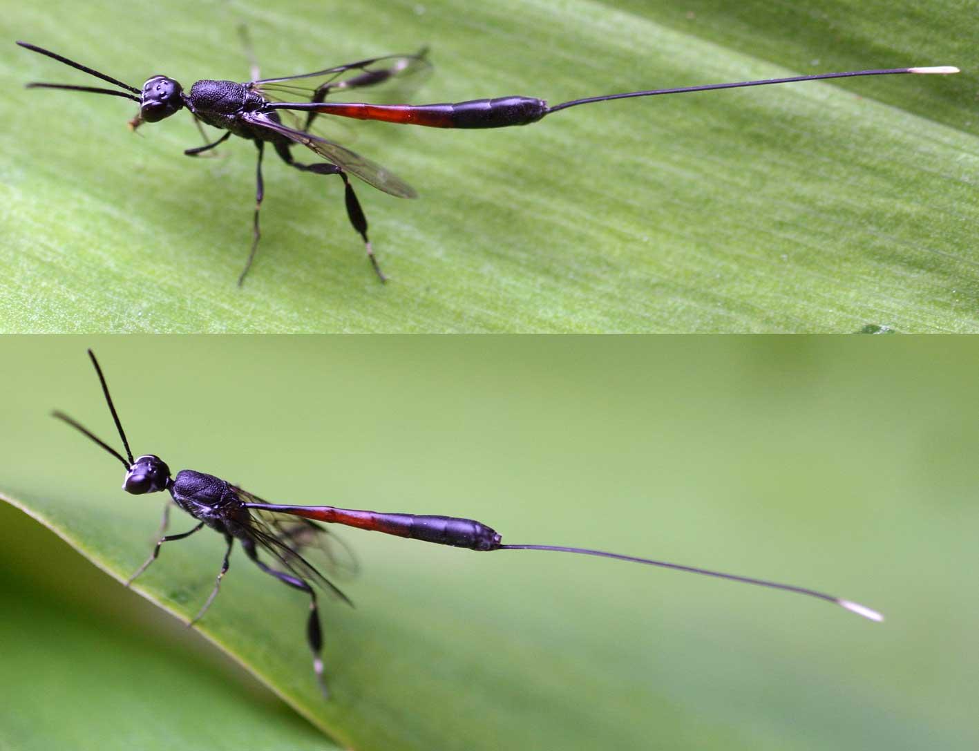 насекомое помощник наездник