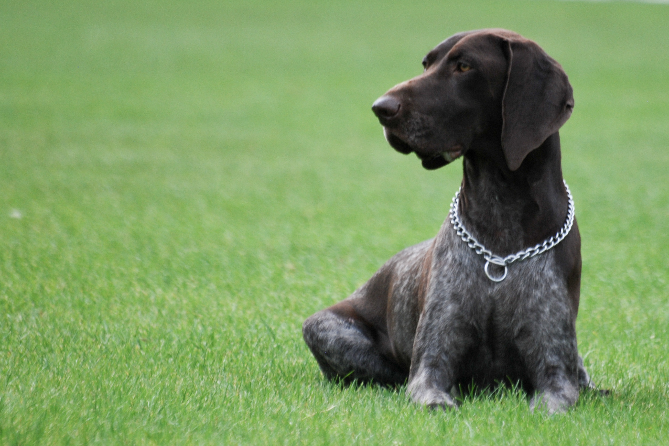 german short haired pointer - photo #9