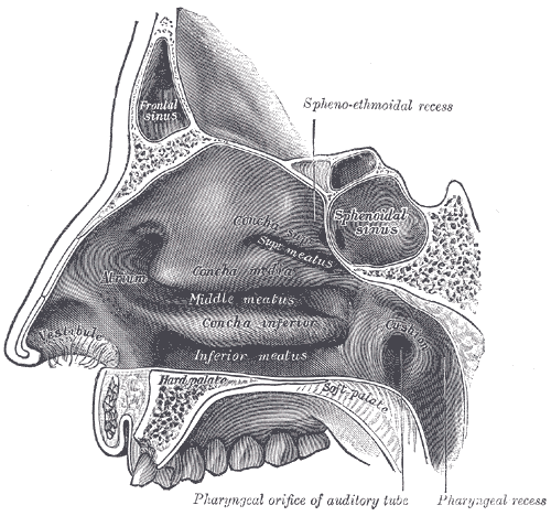 Nasal meatus - Wikipedia