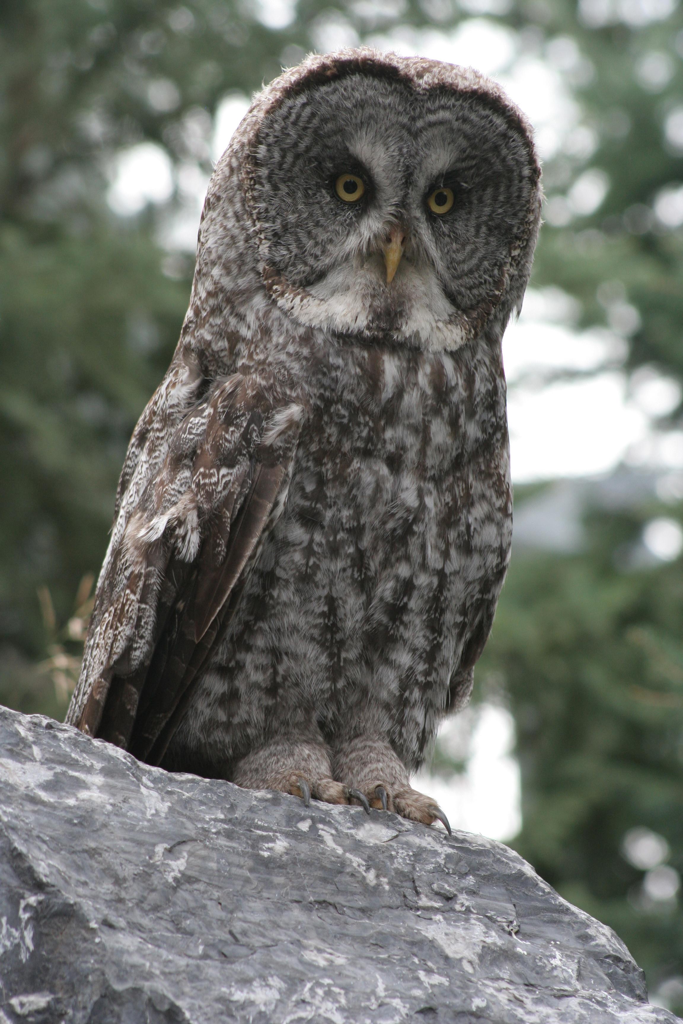 File:Great Grey Owl.jpg - Wikimedia Commons