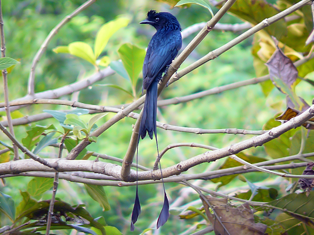 Greater Racket Tailed Drongo Wikiwand