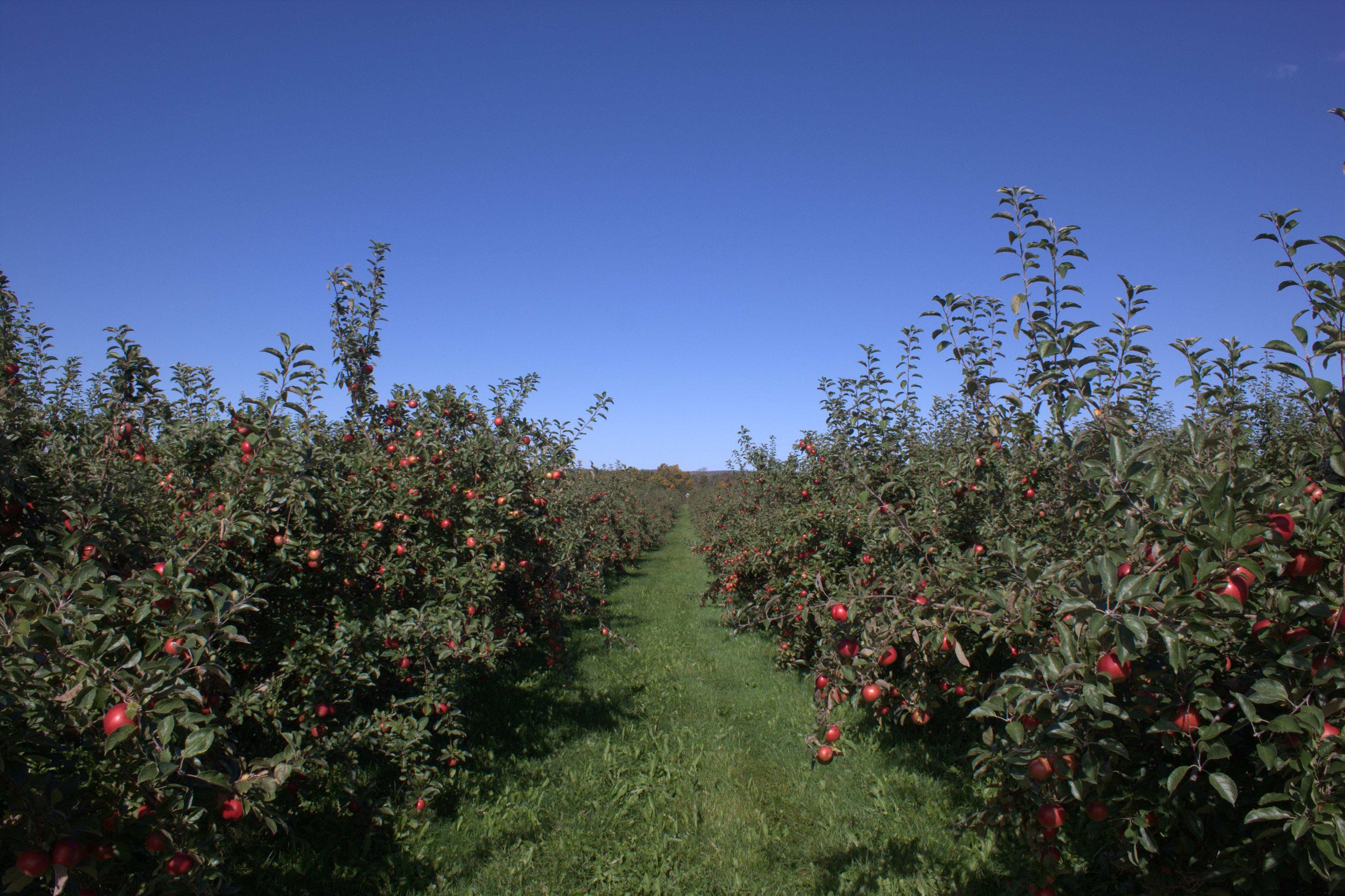 File:Honeycrisp apple orchard.jpg