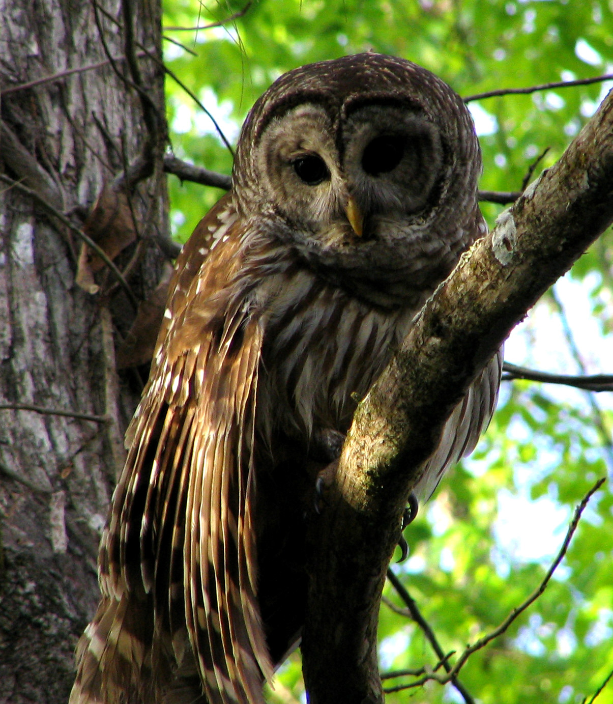 file hontoon dead barred owl jpg wikimedia commons
