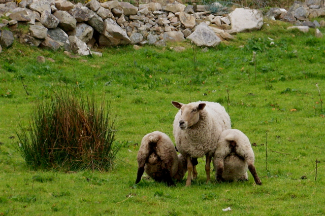 Horn Head - One sheep nursing two lambs - geograph.org.uk - 1181912