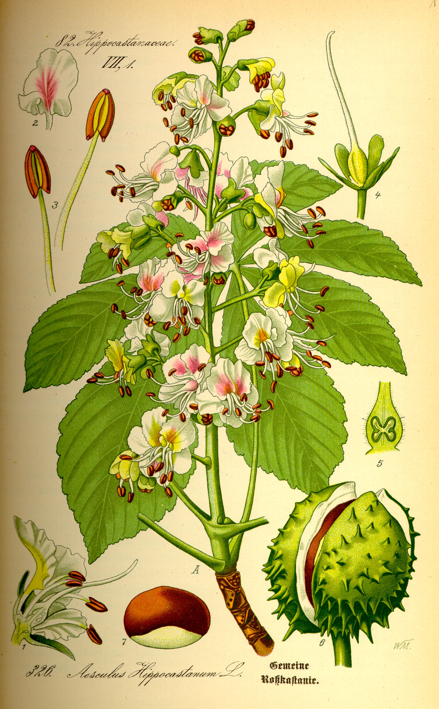 File:Illustration Aesculus hippocastanum0.jpg - Wikipedia