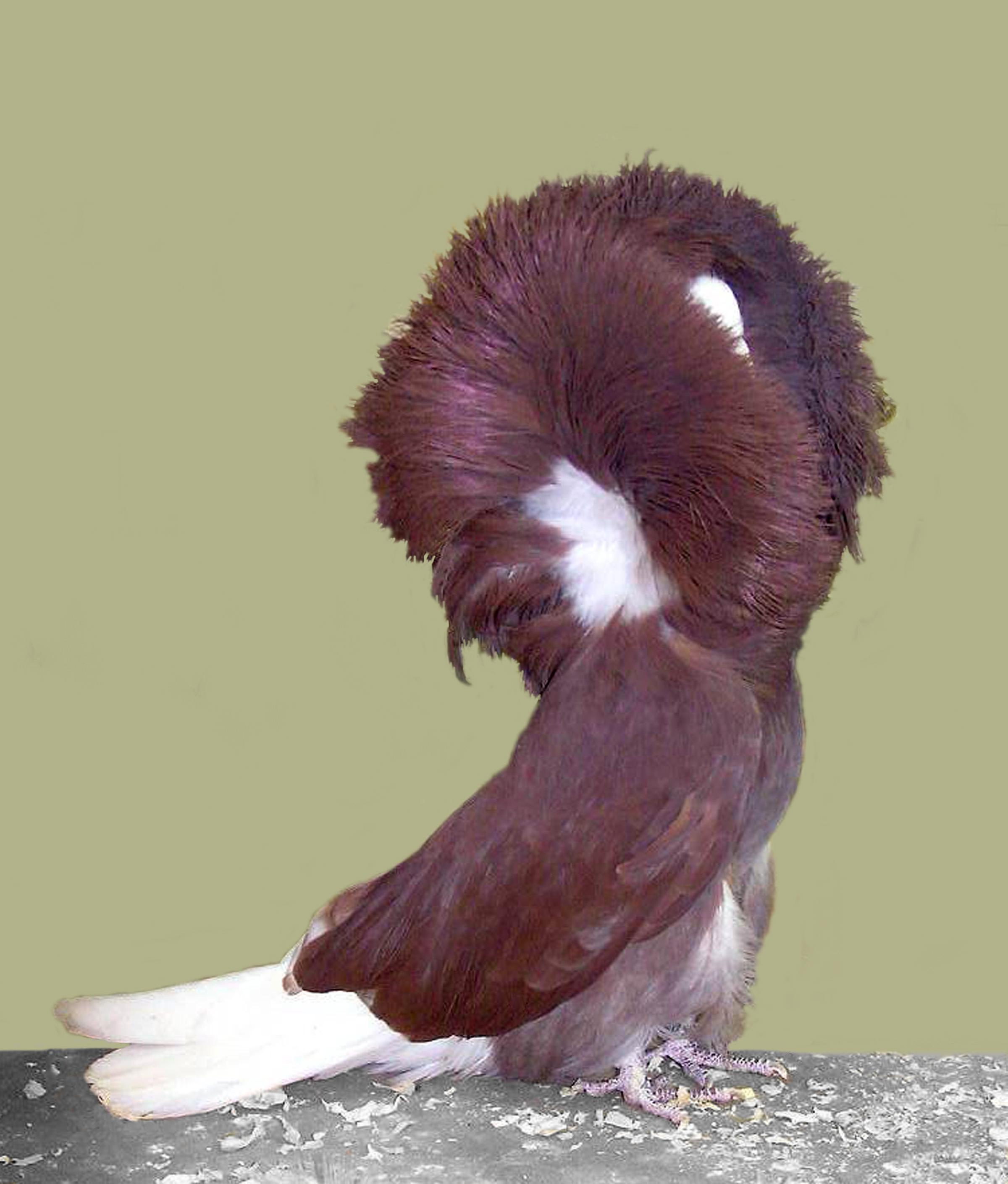 jacobin pigeon - photo #17
