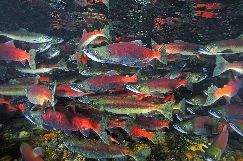 Kokanee salmon - Wikipedia