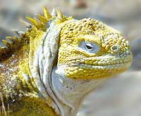 Land Iguana.jpg