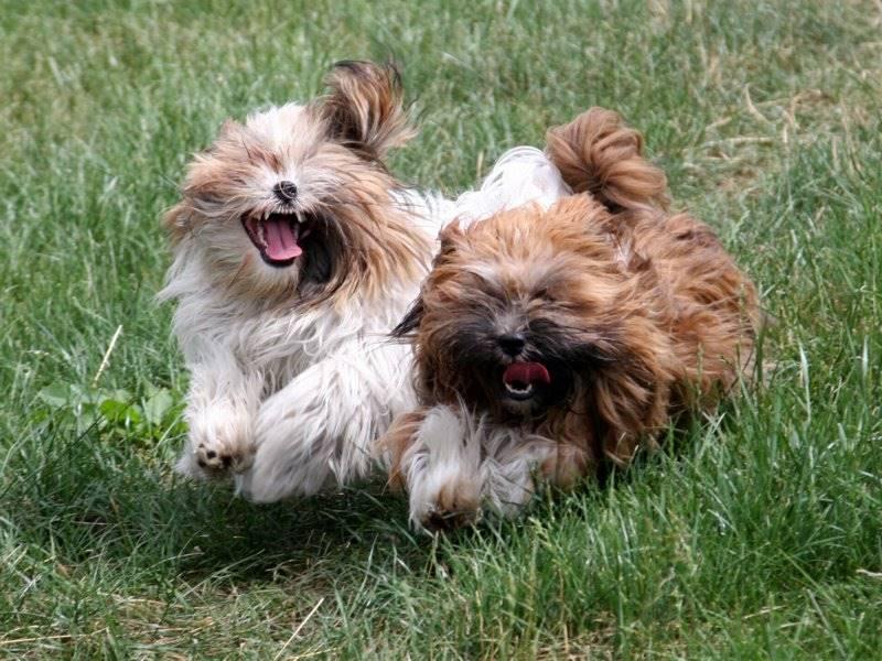Perros Lhasa Apso corriendo