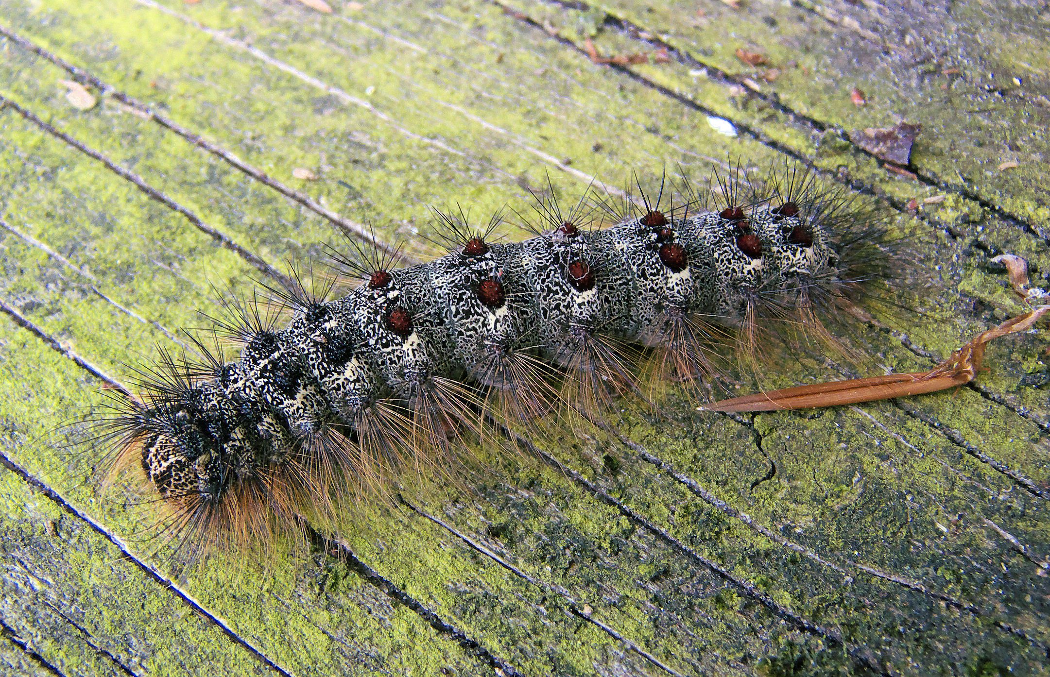 File lymantria dispar caterpillar plakker for Verme processionaria