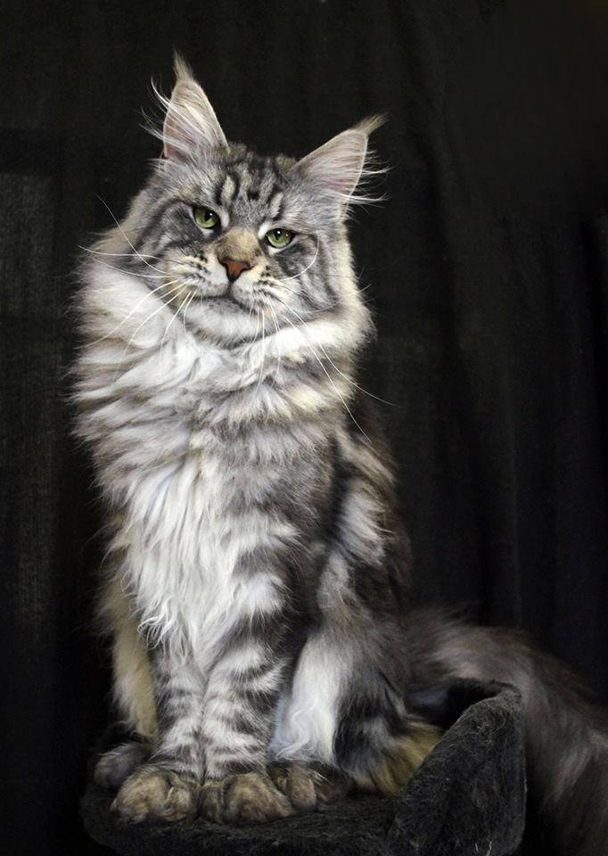 maine coon a donner à DONNER