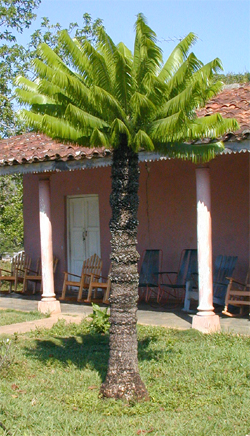 Microcycas new leaves Viñales 2003.jpg