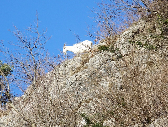 Mountain goats, Burrington Coombe - geograph.org.uk - 1671575