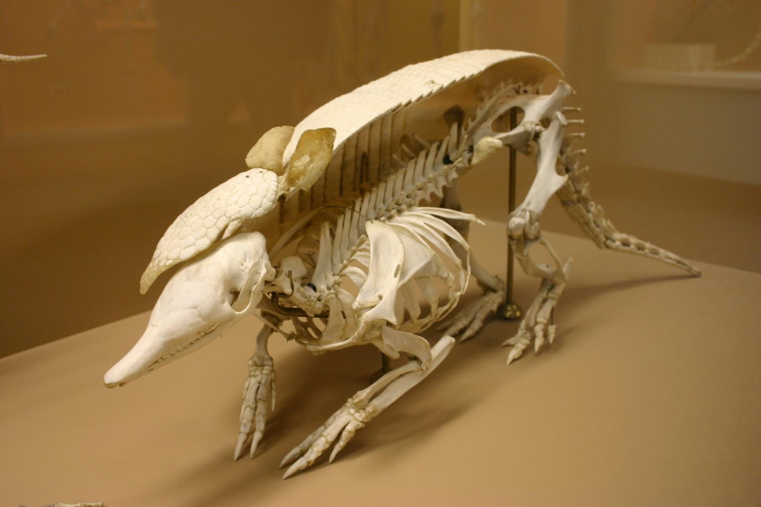 Description nine banded armadillo skeleton