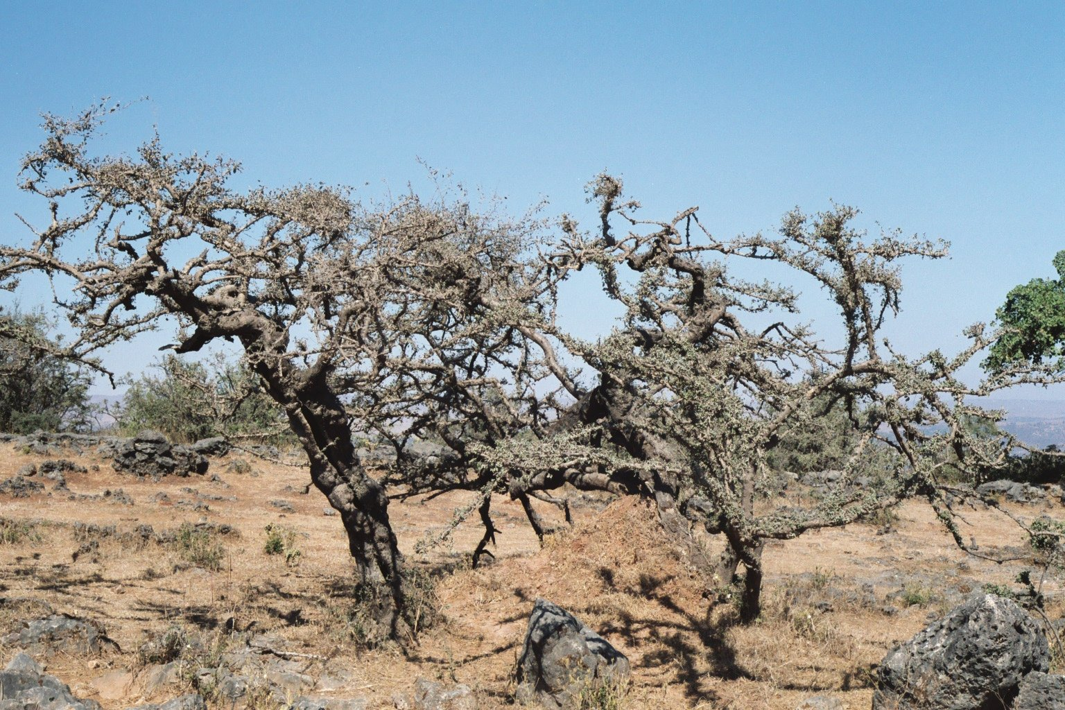 Frankincense Tree Growing Frankincense Trees in Dhofar