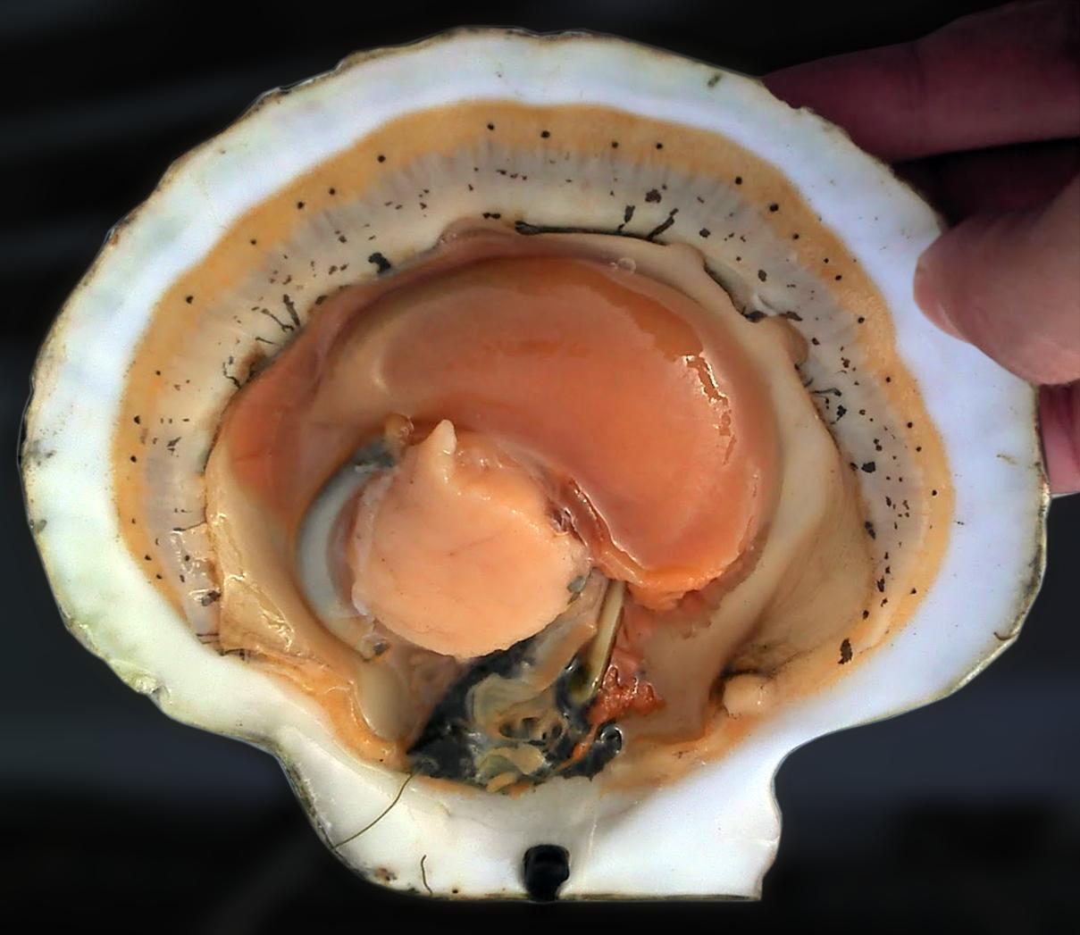 Anatomy of scallop
