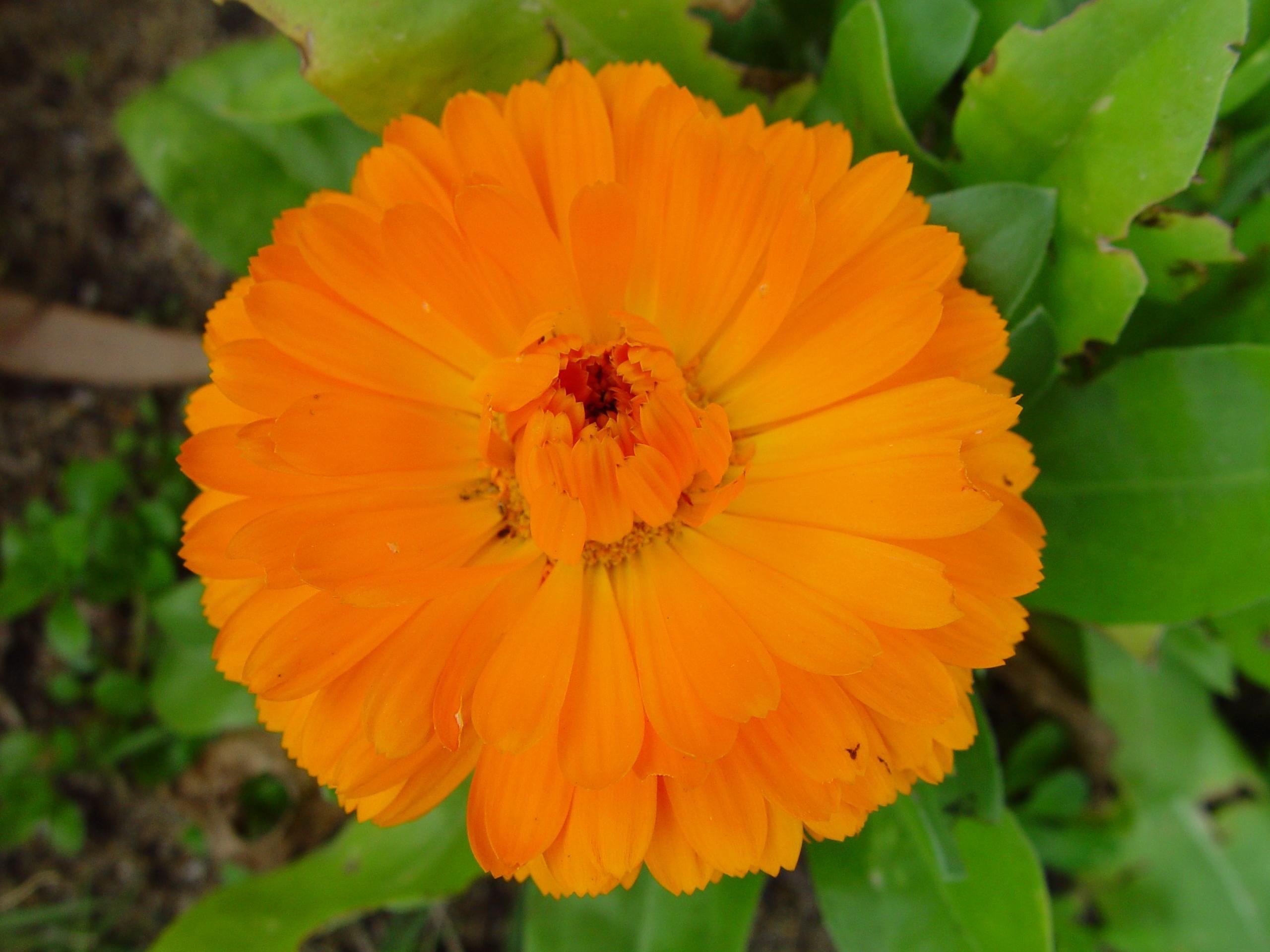 File Orange flower green leaves Wikimedia mons