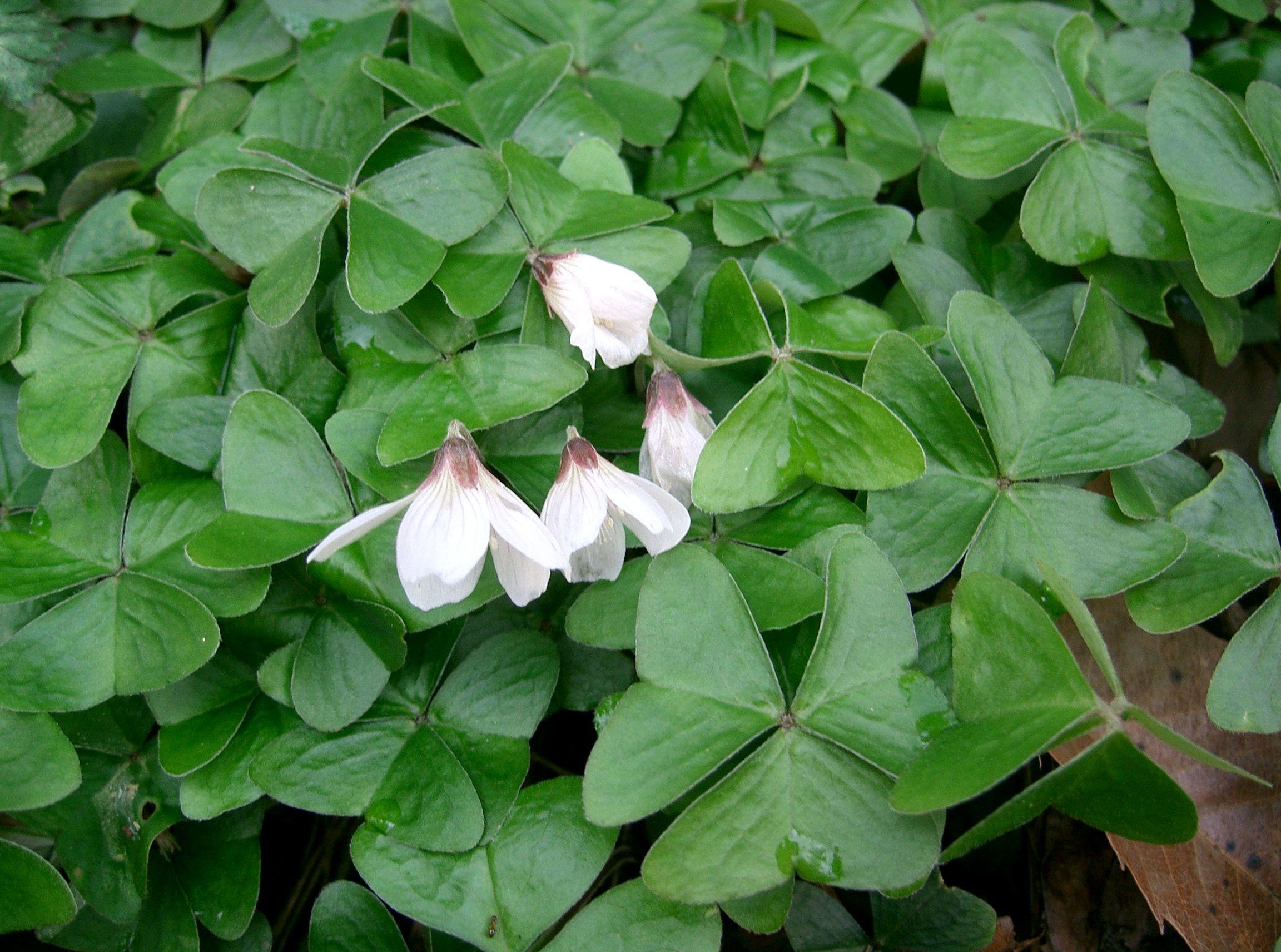 Oxalis wikiwand - Shamrock houseplant ...